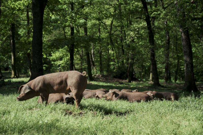 Porcs Casolans Corominas farm